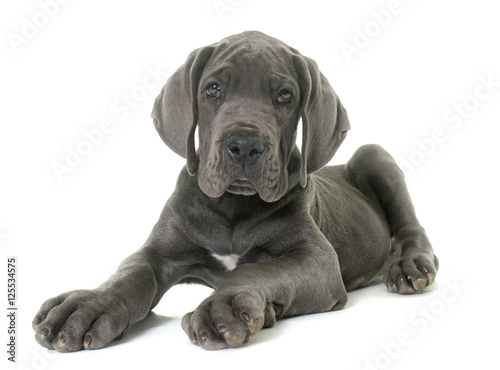 Obraz puppy great dane