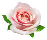 rose isolated on the white - 125538190