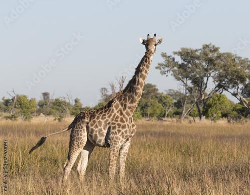 Plakát, Obraz Angolian Giraffe in Savuti Botswana