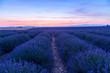 Lavender field summer sunset landscape  near Valensole