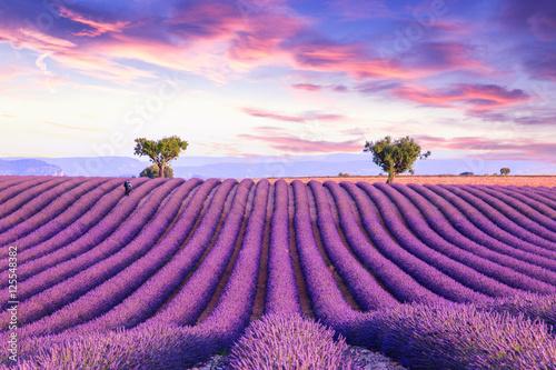 Fototapety, obrazy : Lavender field summer sunset landscape