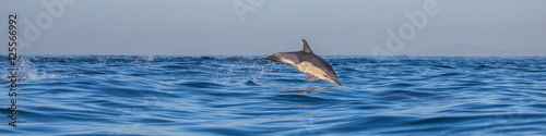 Aluminium Dolfijn Dolphins jump out at high speed out of the water. South Africa. False Bay.