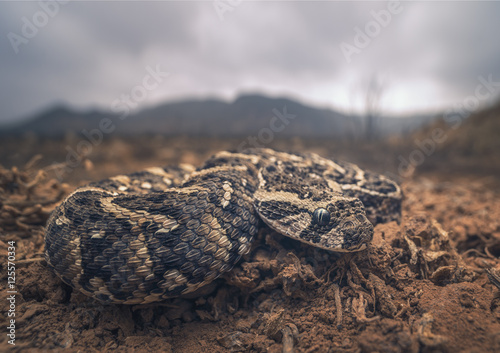 Poster Yound puff adder (Bitis arietans) closeup in Morocco