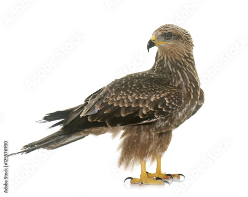 Poster Common buzzard in studio