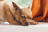 Chihuahua sleep on the window sill