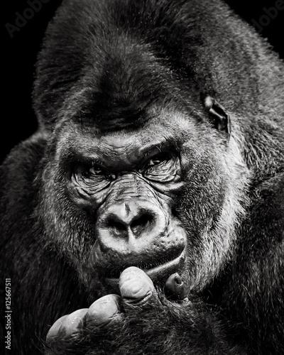 western-lowland-gorilla-x