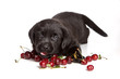 Black labrador puppy and Cherry (isolated on white background)
