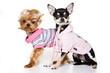 Glamorous york dog clothes (isolated on white)