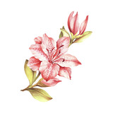 Composition with blossoming lilies. Hand draw watercolor illustration - 125715741