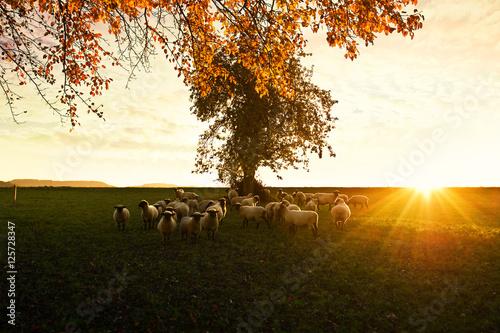 Schafe im Abendrot Poster