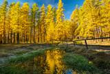 Forêt de mélèzes en automne
