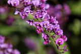 False sarsaparilla - purple coral pea - Hardenbergia violacea
