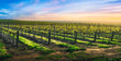 Vineyard Glory