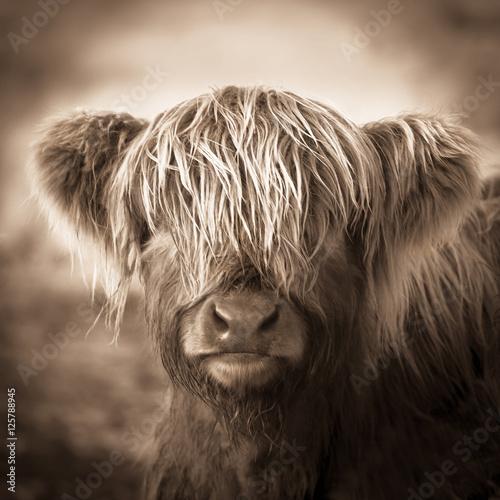 Highland Cow baby animal Scottish calf sepia  - 125788945