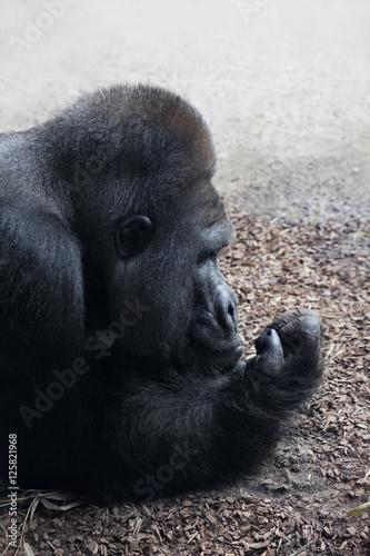 Poster Gorillamännchen (Silberrücken) beim dösen