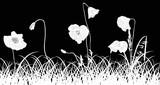 poppy flowers in white grass on black