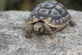 testuggine tartaruga terra