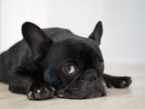 Bored Frenchie