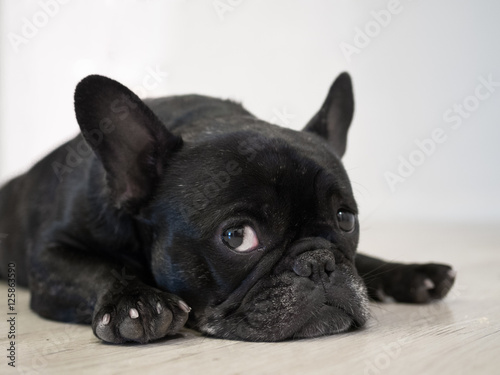 Foto op Canvas Franse bulldog Bored Frenchie