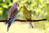Two multi colored budgie are on the green background - 125865920