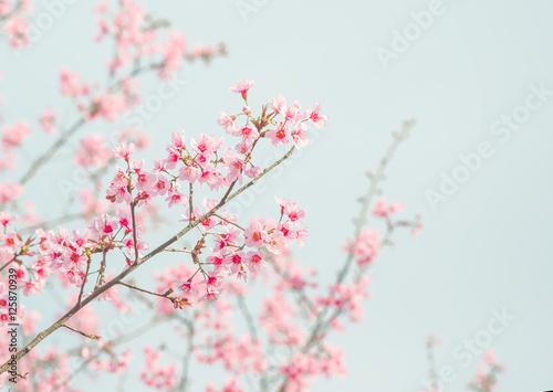 Poster Soft focus Cherry Blossom or Sakura flower on nature background