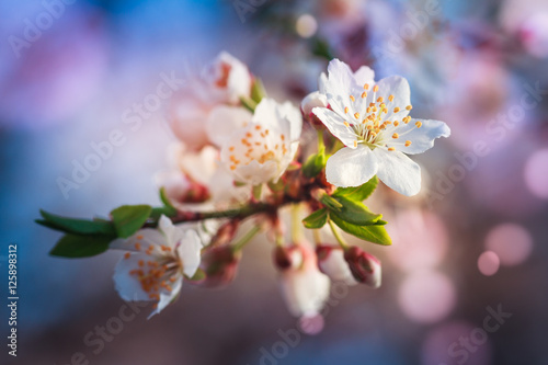Fototapety, obrazy : Blossoming of fruit tree during spring. View close-up of branch with white flowers and buds in bright colors. Soft focus and boken background.