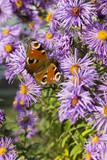 Butterfly Peacock eye on flowers purple daisies.