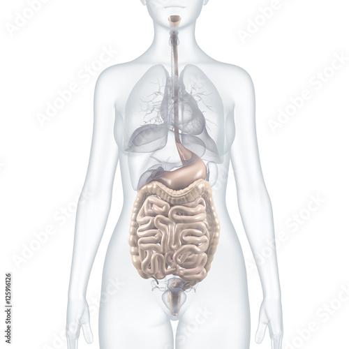 GamesAgeddon - Magen-Darm-Trakt - anatomische 3D-Illustration ...