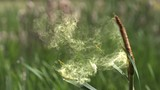 Great Reedmace or Bulrush, typha latifolia, Pollen being released from Plant, Pond in Normandy, Slow Motion - 125929100