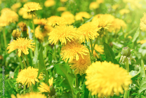 Plexiglas Geel Yellow dandelions on the green field
