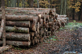 autumn forest-felling of trees