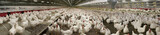 Chicken Multiplication. Poultry - 125986795