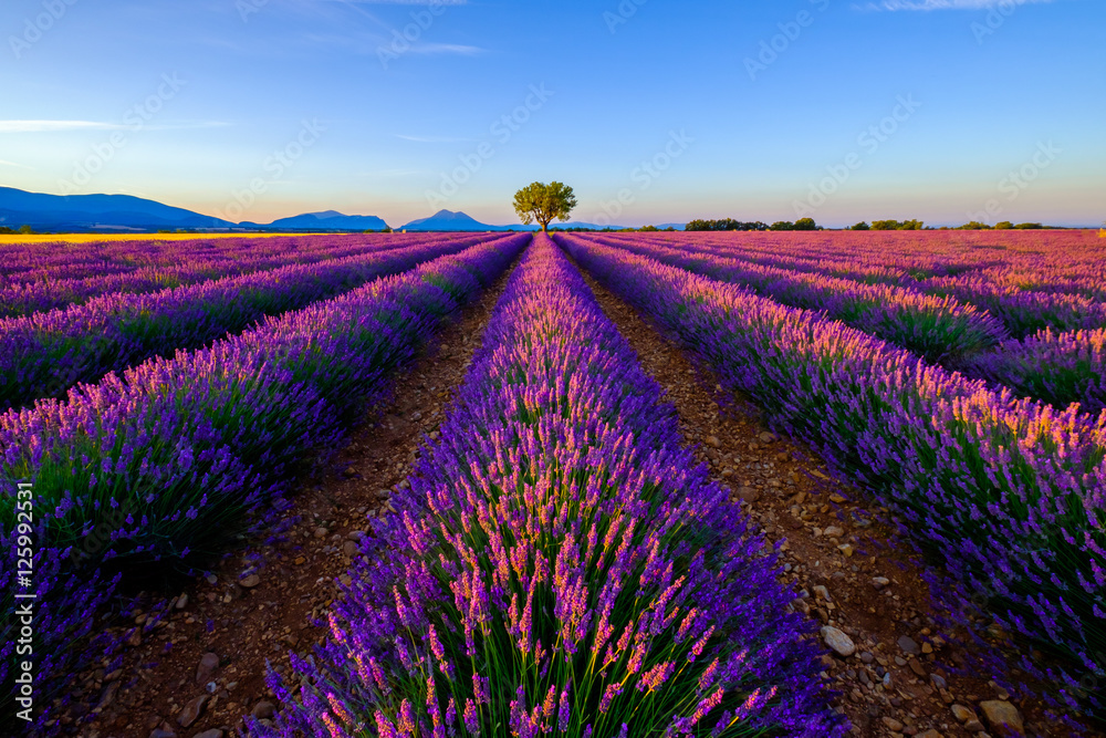 K chenr ckwand aus glas mit foto tree in lavender field at sunrise in provence france nikkel - Kuchenruckwand lavendel ...
