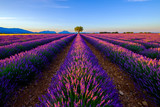 Tree in lavender field at sunrise in Provence, France - 125992531