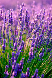 Fototapety Blooming lavender in a field at sunset in Provence, France