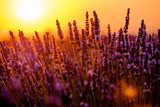 Blooming lavender in a field at sunset in Provence, France - 125992768