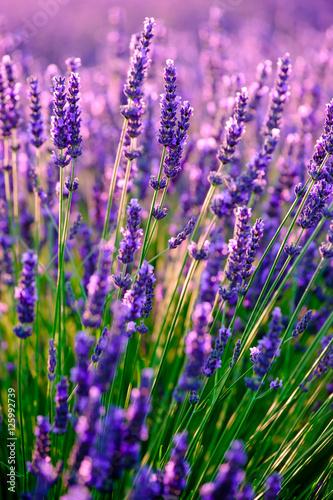 Zdjęcia na płótnie, fototapety na wymiar, obrazy na ścianę : Blooming lavender in a field at sunset in Provence, France