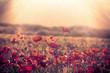 Poppy flower - red poppy flowers in meadow lit by sun rays
