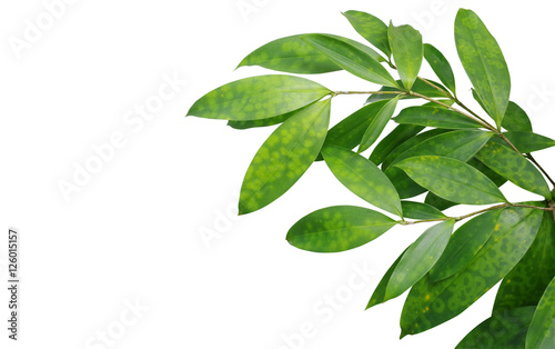 Japanese bamboo plant leaves isolated on white background, clipp