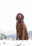Retrato de un perro de la raza Setter Irlandés en un paisaje nevado