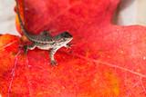 Tiny lizard sitting on a vining maple leaf