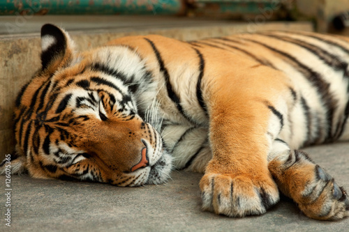 Póster Sleeping tiger, close up, horizontal view. Shot in Chiang Mai, T