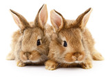 Two brown rabbits. - 126075722