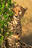 Male cheetah sitting in grass and looking for its pray in Masai
