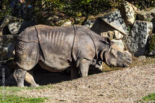 Poster Indisches Panzernashorn - Rhinoceros unicornis - Rhinozeros - Nashorn