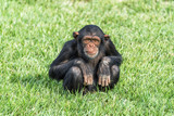 A young chimpanzee sitting on a grass field