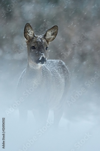 Roe deer in snowfall - 126106582