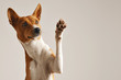 Adorable brown and white basenji dog smiling and giving a high five isolated on white