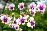 Dendrobium enobi purple orchids