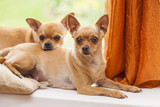 Two curious chihuahua indoors, soft focus